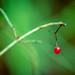 Hibernated berry / övervintrat bär