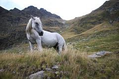 Carpathians- horse