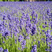 "Lavender • <a style=""font-size:0.8em;"" href=""http://www.flickr.com/photos/15533594@N00/28461680365/"" target=""_blank"">View on Flickr</a>"
