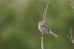American Tree Sparrow | tundrasparv | Spizelloides arborea