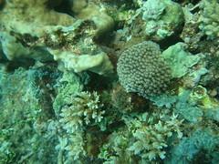 Coral - pulau biawak