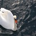 Swan from above