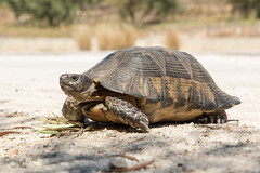 Landschildkröte