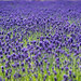"""Lavender field at Farm Tomita • <a style=""""font-size:0.8em;"""" href=""""http://www.flickr.com/photos/15533594@N00/28356974902/"""" target=""""_blank"""">View on Flickr</a>"""