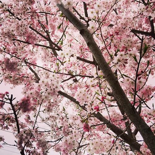 近所の桜。江戸彼岸で、染井吉野よりも早く満開を迎えています。