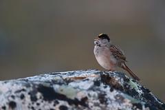 Golden-crowned Sparrow | gulkronad sparv | Zonotrichia atricapilla