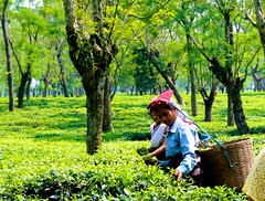Tea workers of East assam
