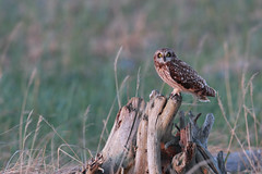 Short-eared Owl | jorduggla | Asio flammeus