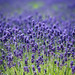 """Lavender field at Farm Tomita • <a style=""""font-size:0.8em;"""" href=""""http://www.flickr.com/photos/15533594@N00/27845570603/"""" target=""""_blank"""">View on Flickr</a>"""