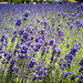 "Lavender field at Farm Tomita • <a style=""font-size:0.8em;"" href=""http://www.flickr.com/photos/15533594@N00/28178517830/"" target=""_blank"">View on Flickr</a>"