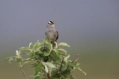 White-crowned Sparrow | vitkronad sparv | Zonotrichia leucophrys