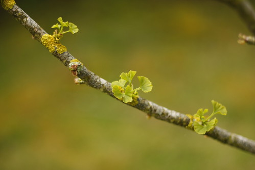 06052012-_MG_7169 : Ginko Biloba by Yannick BARBIER