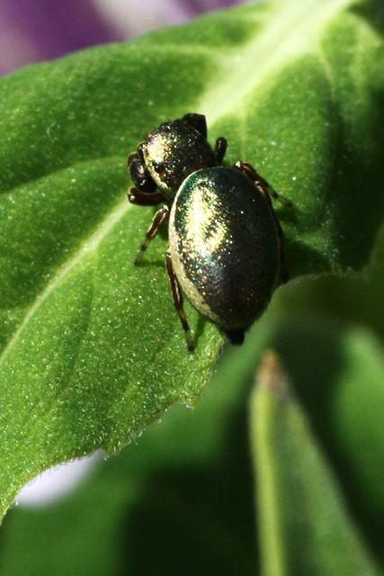 Jumping spider (Sassacus papenhoei), female