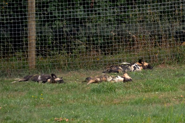 Painted Dog Day Afternoon