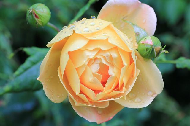 English rose Golden Celebration from Flickr via Wylio