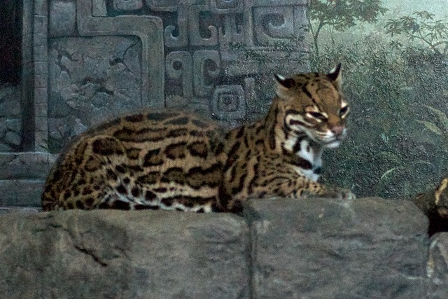 Sleepy Ocelot