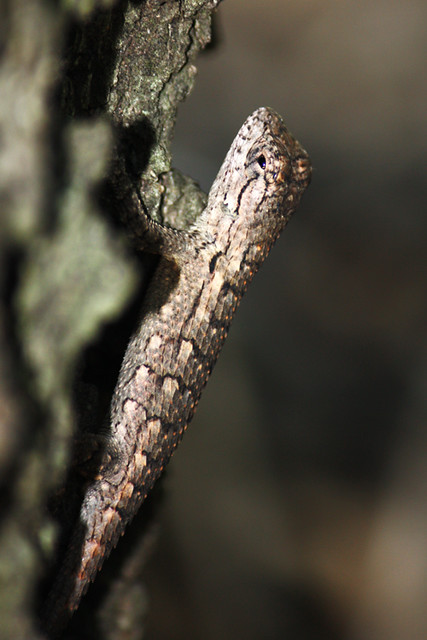 Fence lizard (Sceloporus sp.)