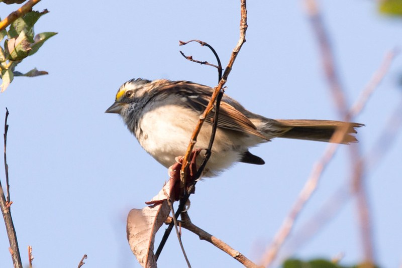 _DSC3527 White-throated Sparrow