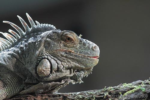 Grüner Leguan (Iguana iguana) by hellboy2503