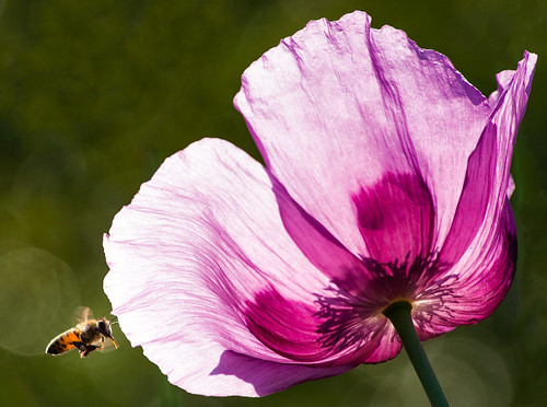 Bee and Poppy 1