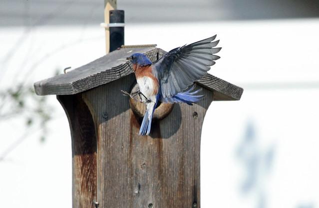 Male Bluebird Fly By