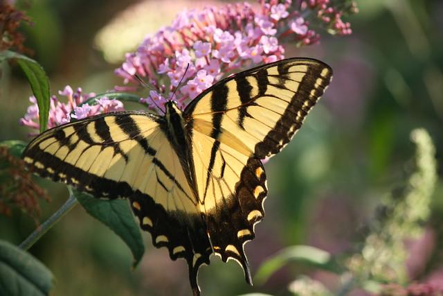 yellow swallowtail 1