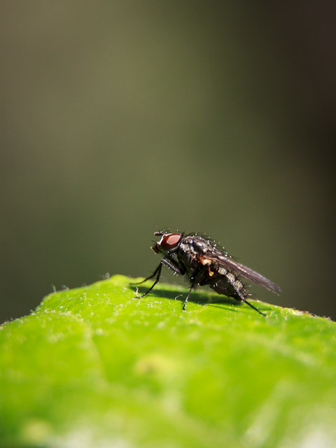 Another Small Fly