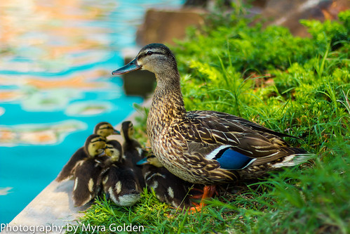 Mother Duck and Ducklings by Myra Golden