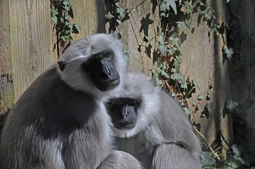 Hanuman-Languren im Zoo in der Wingst