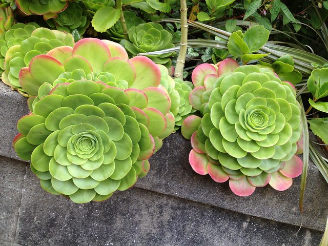 Hens-and-chicks (Echeveria sp., Crassulaceae)