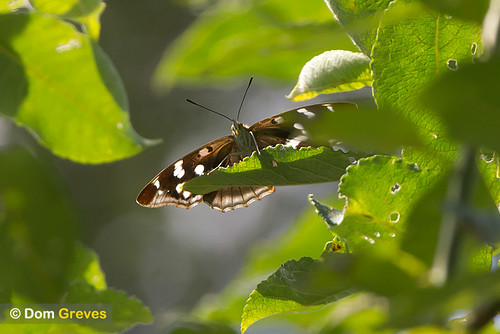 Purple Emperor Laying
