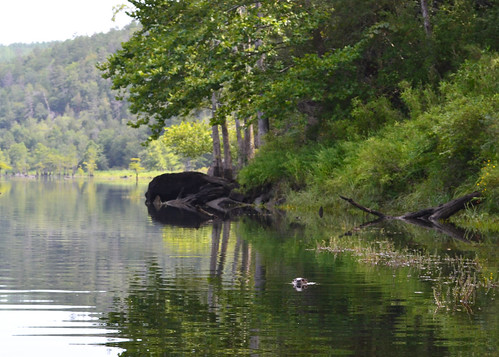 calm rippled river with trees reflected. An otter swims along serenely in the distance.
