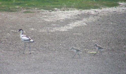 Avocet parent and chicks I