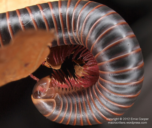 millipede Narceus annularis © Ernie Cooper sm for post