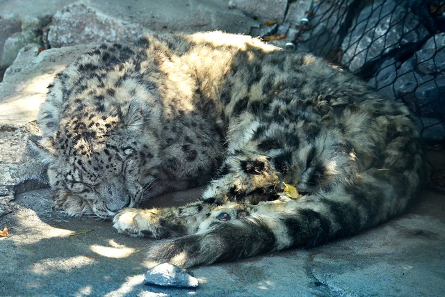Sleepy Snow Leopard