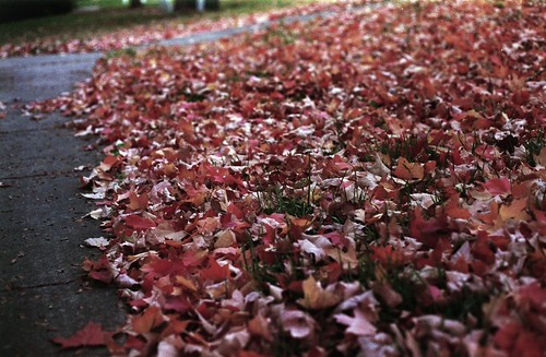 Maple Leaves (35mm film)