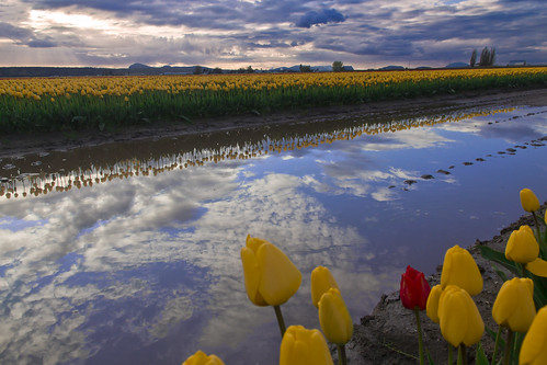 Skagit Valley Tulips, 2012 by i8seattle