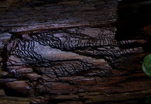 grain on hemlock log