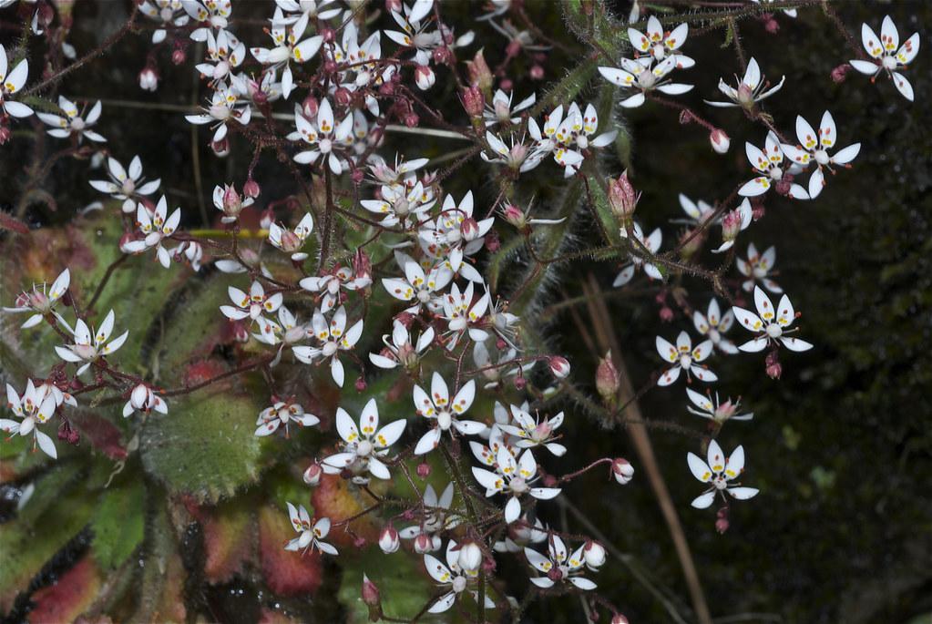 Alaska saxifrage, Russethair saxifrage, Rusty saxifrage