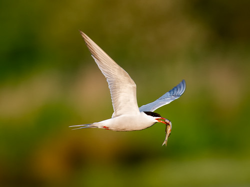 Common Tern-with fish_1