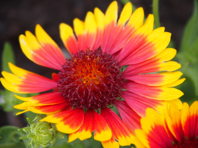 Blanket Flower - Arizona Sun