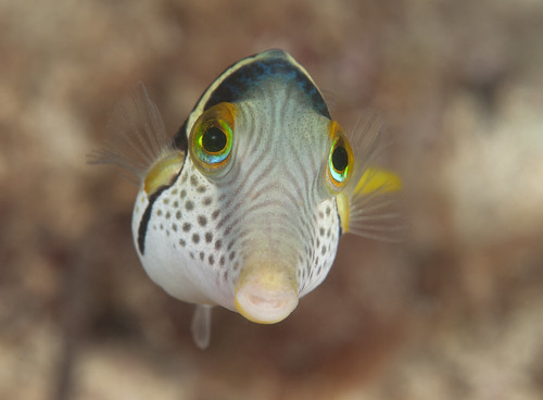 Canthigaster valentini -Valentinni's sharpnose puffer