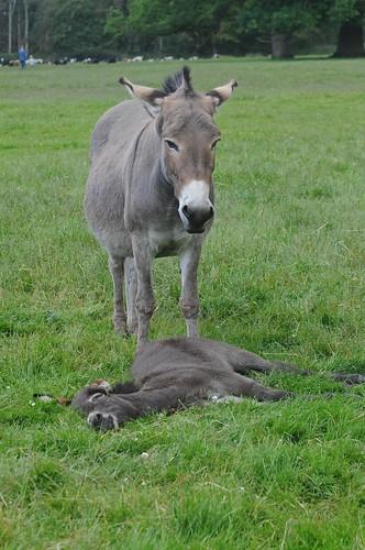 Hausesel im Knuthenborg Safaripark