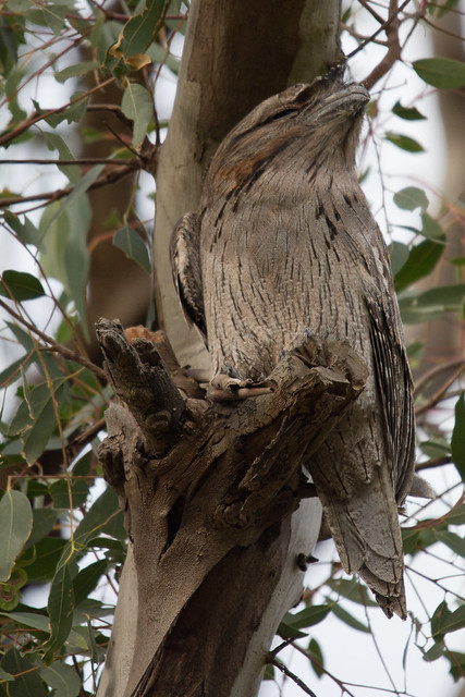 Tawny Frogmouth 2012-04-27 (_MG_6828)
