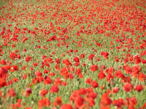 poppies by Samantha Halliwell