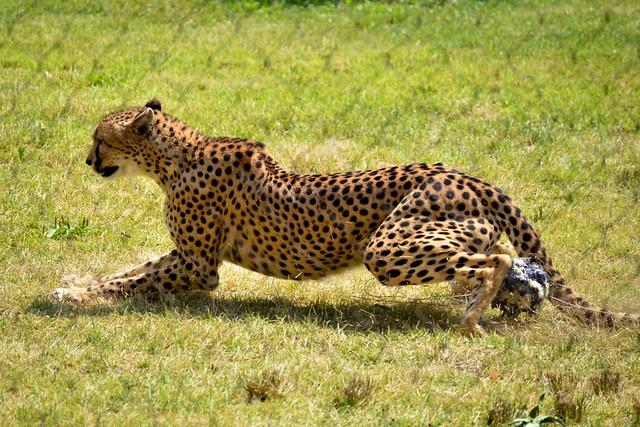 Cheetah Brakes!