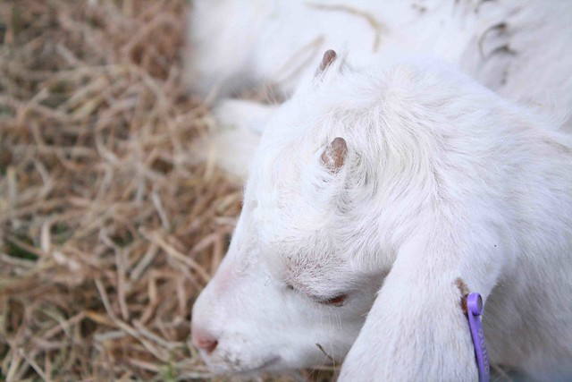 white goats and kids