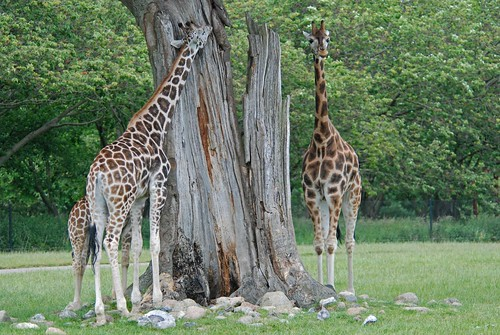 Rothschildgiraffen im Knuthenborg Safaripark