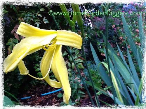Yellow Spider Daylily