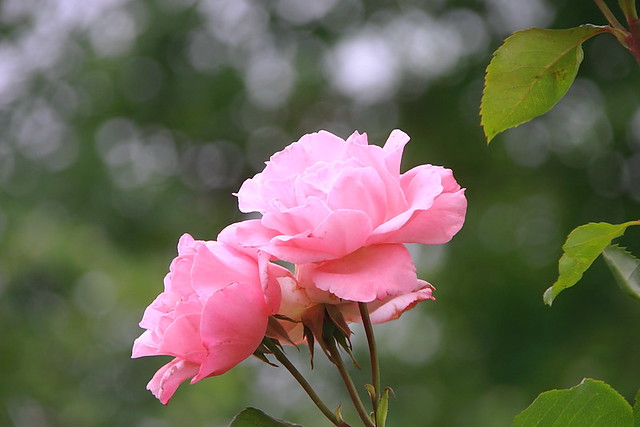 Rosas #Photography #Flickr #Foto  24